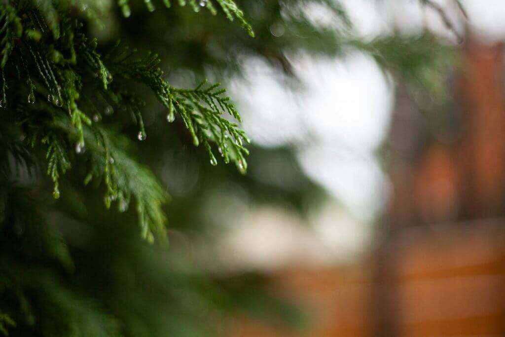 Fir with melting snow, water drops on the ends of the leaves
