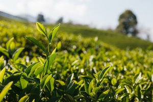 Tea estates in the UK