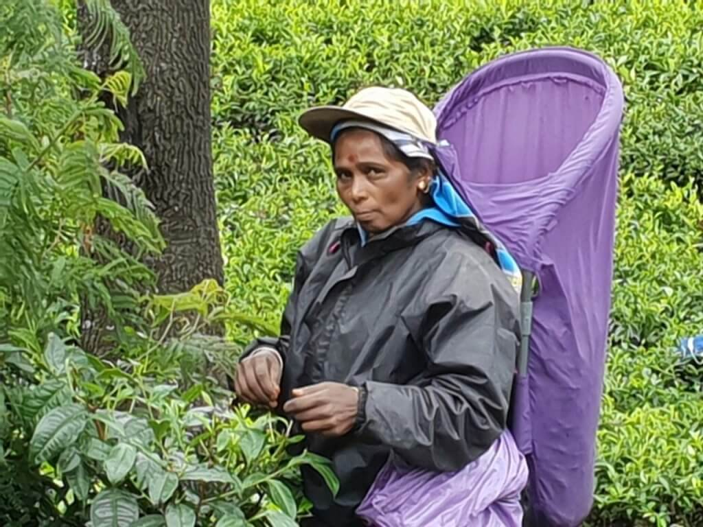 Tea plantation workers in Ceylon who are tea pickers are women.